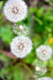 Dandelion © KETMALA'S KITCHEN 2012-13