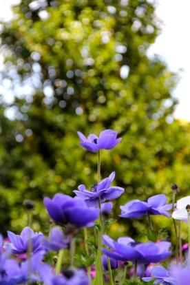 Purple Poppies at Longwood Gardens © KETMALA'S KITCHEN 2012-13