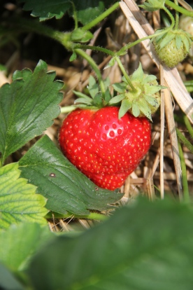 Strawberry © KETMALA'S KITCHEN 2012-13