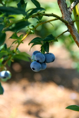 Blueberry © KETMALA'S KITCHEN 2012-13