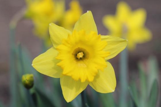 Happy Daffodils © KETMALA'S KITCHEN 2014