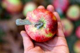 Organic Apple@ Ketmala's Kitchen 2014